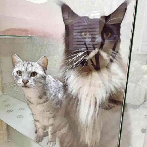 Коты Лоран и Зорро
